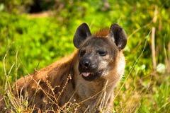 Hyenor Arkivbild