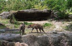 Hyenor i Busch trädgårdar Tampa Bay Florida Royaltyfria Foton