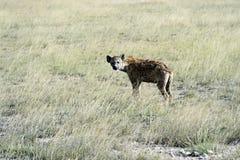 Hyenor i savannahen Arkivbilder