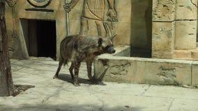 Hyenor i zoo Arkivbilder