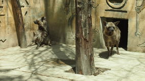 Hyenor i zoo Royaltyfria Foton