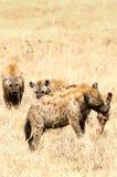 Hyenor Ngorongoro krater Royaltyfria Bilder