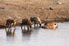 Hyenor på en Waterhole Arkivfoton