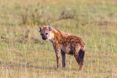 Hyens Stock Image