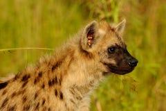 Hyens manchado Imagen de archivo libre de regalías