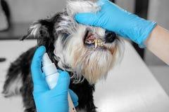 Hygiène buccale de jet de chien pour le tartre photo stock