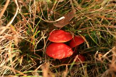 Hygrocybe coccinea in the grass Royalty Free Stock Images