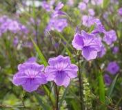 Hygrophila hochr. Royalty Free Stock Image