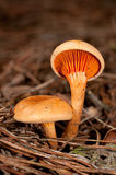 Hygrophoropsis aurantiaca Stock Photography