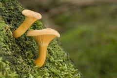 Hygrophoropsis aurantiaca Lizenzfreies Stockfoto