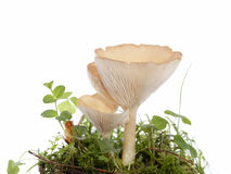 Hygrophoropsis aurantiaca Stock Photo