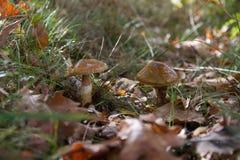 Hygrophorus Dichrous de champignons Photo stock