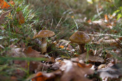 Hygrophorus Dichrous dos cogumelos Foto de Stock