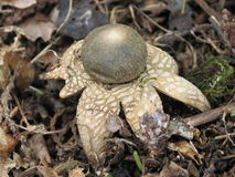 Hygroscopic earthstar (Astraeus hygrometricus) Royalty Free Stock Photo