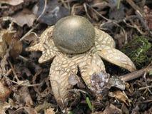 Hygroscopic earthstar (Astraeus hygrometricus) Royalty Free Stock Photo