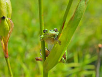 Hyla (жаба вала) 11 Стоковое фото RF