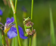Hyla 1. A close-up of a frog hyla (Hyla japonica) on haulm of iris. Russian Far East, Primorye royalty free stock images