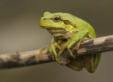 Hyla arborea Royalty Free Stock Photo