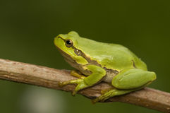 Hyla arborea. Cute little green frog stock photos