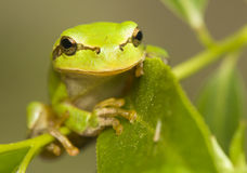 Hyla arborea. Tree frog - a small green frog stock image