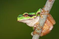 Hyla arborea. European Green Treefrog, Hyla arborea, photographed in nature stock photos