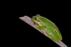 Hyla arborea. European Green Treefrog, Hyla arborea, photographed in nature, isolated on black royalty free stock photos