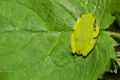 Hyla arborea Stock Photography