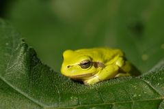 Hyla arborea Royalty Free Stock Photography