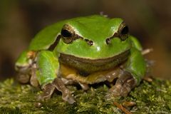 Hyla arborea Royalty Free Stock Images