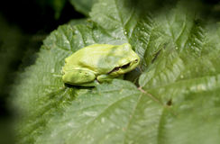 Hyla arborea. Close-up of European tree frog (Hyla arborea) sitting on leaves stock photos