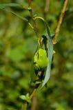 hyla arborea żaby europejskiego drzewo Zdjęcia Stock