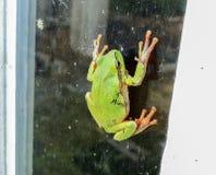 hyla arborea żaby zielone drzewa zdjęcia royalty free