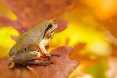 Hyla arborea. Close-up of a European tree frog Hyla arborea stock photo