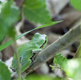 Hyla arborea, European tree frog Stock Photos