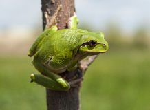Hyla arborea. European tree frog stock image