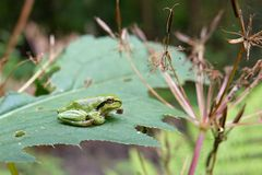 Hyla arborea Stock Photos
