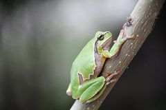 Hyla arborea. European tree frog Hyla arborea/orientalis from Romania royalty free stock photos