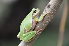 Hyla arborea. European tree frog Hyla arborea/orientalis from Romania royalty free stock photo