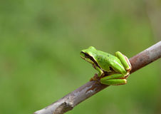 Hyla arborea. European tree frog (Hyla arborea/orientalis) from Romania stock photo