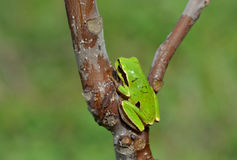 Hyla arborea. European tree frog (Hyla arborea/orientalis) from Romania royalty free stock photos