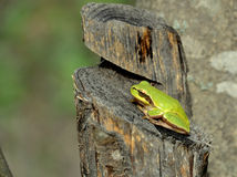 Hyla arborea. European tree frog (Hyla arborea/orientalis) from Romania stock images