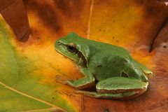 Hyla arborea (Green Tree Frog) stock photos