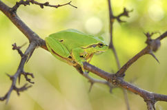 Hyla arborea among tree branches Royalty Free Stock Photos