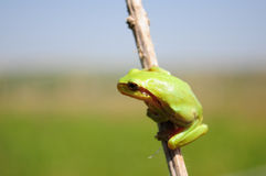 Hyla arborea, tree frog Royalty Free Stock Photo