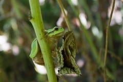 Hyla arborea, tree frog Royalty Free Stock Photography
