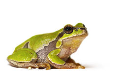 Hyla arborea on white background Stock Photos