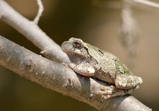 Hyla chrysoscelis. Gray tree frog (Hyla chrysoscelis) against black background royalty free stock image