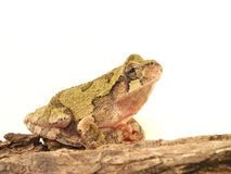 Hyla chrysoscelis. Gray tree frog (Hyla chrysoscelis) against white background stock images