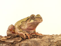 Hyla chrysoscelis. Gray tree frog (Hyla chrysoscelis) against white background royalty free stock image