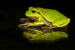 Hyla cinerea. Beautiful green tree frog royalty free stock photo